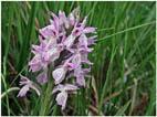 flora-faune-f14 - Orchis négligé copie