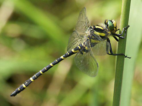 flora-faune-f18- cordulegastre annelé