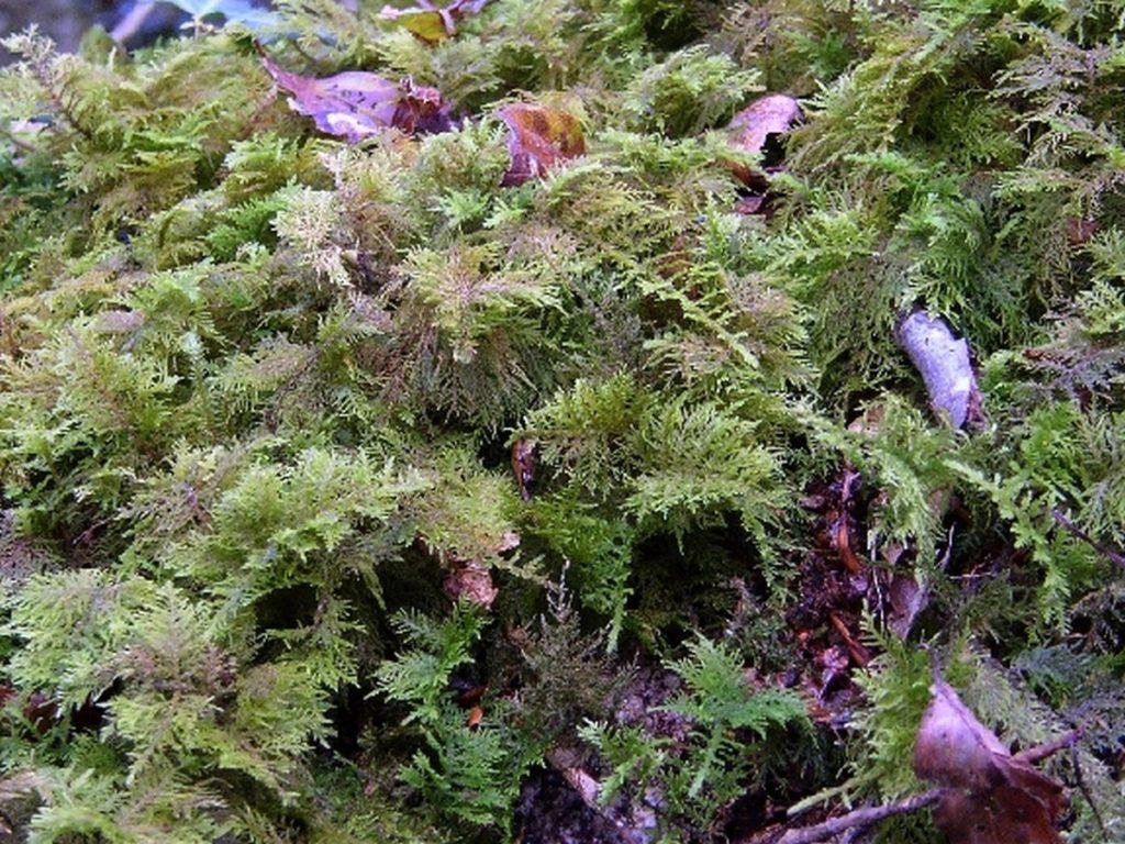 flora-faune-f6 - mousses pleurocarpes (2)